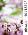 桜 花 ピンクの写真 40148297