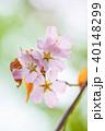桜 花 ピンクの写真 40148299