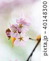 桜 花 ピンクの写真 40148300