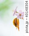 桜 花 ピンクの写真 40148304