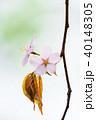 桜 花 ピンクの写真 40148305
