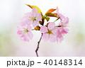 桜 花 ピンクの写真 40148314