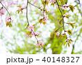桜 花 ピンクの写真 40148327