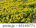 植物 花 黄色の写真 40149771