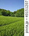 狭山丘陵 茶畑 茶の写真 40151207