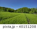 狭山丘陵 茶畑 茶の写真 40151208