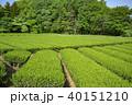狭山丘陵 茶畑 茶の写真 40151210