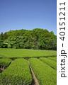 狭山丘陵 茶畑 茶の写真 40151211