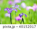 花 花菖蒲 菖蒲の写真 40152017