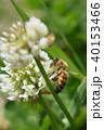 西洋ミツバチとクローバーの花 シロツメクサの花とミツバチ 40153466