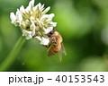 西洋ミツバチとクローバーの花 シロツメクサの花とミツバチ 40153543