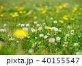 野の野草1 40155547