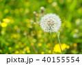 春のタンポポ 40155554