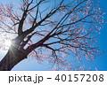 逆光 桜 桜の木の写真 40157208