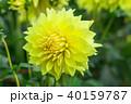 花 フローラル お花の写真 40159787