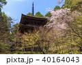 金剛輪寺 桜 新緑 40164043