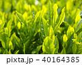 朝日の中の茶畑 40164385