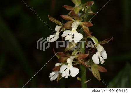 自然 植物 エビネ、春に咲くラン。その昔『エビネブーム』がありあちこちで乱獲されたそうです 40166415