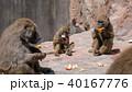 アヌビスヒヒ ヒヒ オナガザル科の写真 40167776