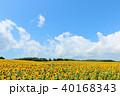 青空 夏 ヒマワリ畑の写真 40168343