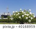 薔薇 山下公園 横浜港の写真 40168959