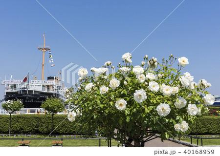 山下公園の白い薔薇 40168959