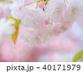 八重桜 花 春の写真 40171979