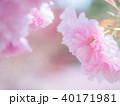 八重桜 花 春の写真 40171981