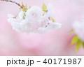 八重桜 花 春の写真 40171987