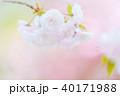 八重桜 花 春の写真 40171988