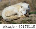 動物 ホワイト 白の写真 40176115