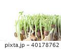 豆苗 芽 新芽の写真 40178762