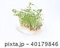 豆苗 芽 新芽の写真 40179846
