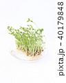 豆苗 芽 新芽の写真 40179848