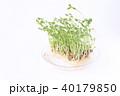 豆苗 芽 新芽の写真 40179850
