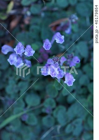 季節外れの立浪草 タツナミソウ 花言葉は「私の命を捧げます」 40179864