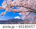 富士山 桜 富士の写真 40180457