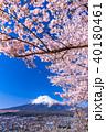富士山 桜 春の写真 40180461