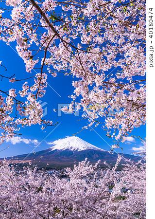 《山梨県》富士山と満開の桜 40180474