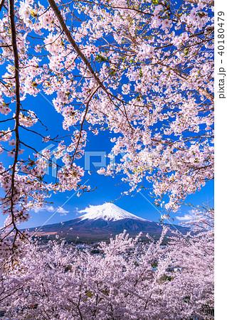《山梨県》富士山と満開の桜 40180479