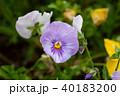 パンジー 花 植物の写真 40183200