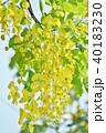 花 ゴールデンシャワー 花房の写真 40183230