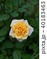 黄色 ミニバラ 薔薇の写真 40183463