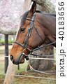 馬と桜 40183656