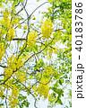 花 ゴールデンシャワー 花房の写真 40183786
