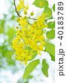 ゴールデンシャワー 国花 黄色の写真 40183789
