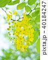ゴールデンシャワー ナンバンサイカチ 黄色の写真 40184247