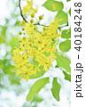 ゴールデンシャワー ナンバンサイカチ 黄色の写真 40184248