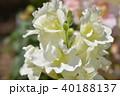 ストック 花 植物の写真 40188137