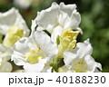 ストック 花 植物の写真 40188230